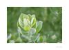 Protea Eximia (Meu :-)) Tags: proteaeximia proteaceae leaves nature