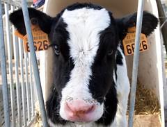 petit Pie Noir (Patrick Doreau) Tags: pienoir veau vache cow blanc noir black white animal veal