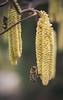 collectors (koaxial) Tags: p3307646a koaxial bee honey spring frühling 2018 macro closeup