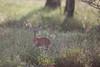 Steenbok (Ring a Ding Ding) Tags: africa ndutu nomad raphiceruscampestris serengeti steenbok tanzania antelope nature safari wildlife shinyangaregion coth5 ngc