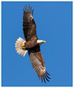 Mighty Mighty Eagle (djrocks66) Tags: ngc eagle bald talons raptor raptors nature birds animals wildlife wings feathers outdoors bif canon 7d mark ii 7d2