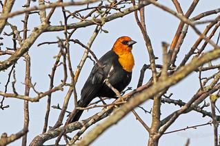 Yellow-headed Blackbird 18-0331-0204