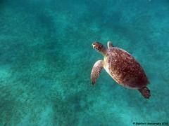 Rotes Meer ~ Meeresschildkröte (EnDie1) Tags: endie1 egypt ägypten rotenmeer unterwasser marsaalam redsea nationalpark meer wadielgemal meeresschildkröte 2018