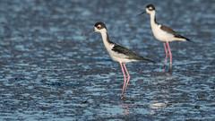 Black-necked Stilt (Himantopus mexicanus) (ER Post) Tags: bird blackneckedstilthimantopusmexicanus californiafebruary2018 shorebird trips paloalto california unitedstates us