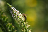 (SotirisS.) Tags: wasp greece nature green canon 55250 stm lightroom raw