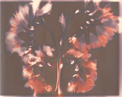 Butterfly freesia (julesnene) Tags: california flower forteelegancepolywarmtonefb juliasumangil plant sunprint alternativephotography art backyard botanical butterfly flora flowers julesnene lumen lumenart paintedbythesun photogram withoutalens