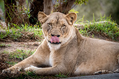 Snack Time? (helenehoffman) Tags: pantheraleo conservationstatusvulnerable felidae sandiegozoosafaripark mammal lion cat lioncamp africa carnivore bigcat animal