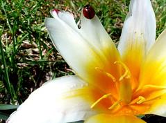Tulipan i biedronka. (andrzejskałuba) Tags: polska poland pieszyce dolnyśląsk silesia sudety europe panasoniclumixfz200 roślina plant owad insect kwiat flower tulip tulipan biały white yellow żółty zieleń green garden ogród natura nature biedronka ladybug czerwony red czarny black macro trawa grass 100v10f