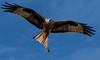 Harewood: Red Kite 2 (Adrian.W) Tags: redkite kite milvusmilvius birdofprey raptor hawk bird wildlife nature wings feathers soaring flying harewood leeds yorkshire nikon d5500 70300mm