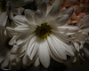 The Simplicity Of White (that_damn_duck) Tags: nikon nature plant flower petals blossom blooming garden