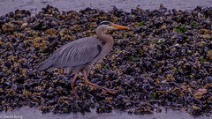 Great Blue Heron Out For A Stroll (david byng) Tags: esquimaltlagoon spring beach vancouverisland pacificocean heron canada britishcolumbia 2018 colwood