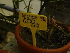 Aptenia lancifolia label in Balchik botanical garden, Bulgaria