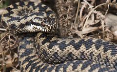 Adder (Vipera berus). (Bob Eade) Tags: adder viperaberus snake reptile eastsussex spring woodland wildlife nature nikon sussex