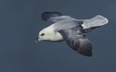 Fulmar - The Mini Albatross (Ann and Chris) Tags: fulmar bird bemptoncliffs nature wildlife wild wings sky avian
