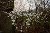 spring twigs (v a n d e r l a a n . fotografeert) Tags: 201804120842 drenthe fujixt1 fujifilm fujinonxf18mmf2r nl blossom shrubs spring tree twigs vanderlaanfotografeert treetrunk