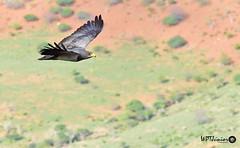 Águia-chilena (Geranoaetus melanoleucus)_2818 FF (Wptjunior) Tags: photograph photo fotografia foto nikon bird birdingwatching aves natureza nature brasil bahia boa nova