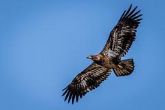 Juvenile Bald Eagle in Flight (jrp76) Tags: kasotaprairie baldeagle haliaeetusleucocephalus bird brown white flight juvenile