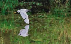 Garzetta (robertoburchi1) Tags: animals animali nature natura riflessi reflexes birds uccelli