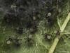 Famille Theridiidae - Enoplognatha ovata (juvéniules) (Répertoire des insectes du Québec) Tags: arachnide araignée arachnida macro quebec spider