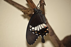 Papilio polytes romolus (Common Mormon) - male (GeeC) Tags: animalia arthropoda butterfliesmoths cambodia commonmormon insecta kohkongprovince lepidoptera nature papilio papiliopolytesromolus papilionidae papilionoidea tatai truebutterflies