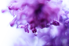 Macro lilac II (Ulchiva) Tags: lilac spring background flowers flower purple lilacs beautiful bush violet nature blossom blooming fresh branch plant floral garden green summer texture season macro petals scent beauty bright color botany rain bloom bunch syringa abstract soft lavender macrography macroflowerlovers waterdropsmacros closeup