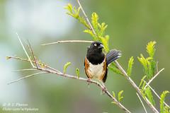 Towhee (ac4photos.) Tags: towhee easterntowhee nature wildlife bird animal florida naturephotography birdphotography wildlifephotography animalphotography nikon d500 tamron150600mm ac4photos ac