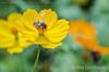 Abelha (Stefan Lambauer) Tags: abelha bee flower garden jardim flor colors jardinsdaorla santos stefanlambauer nature brasil brazil sãopaulo br cosmos macro detail cosmossulphureus cosmoaamarelo
