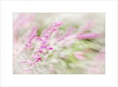 Pink Sway ~ (FLGalleria) Tags: canon flowers pink pastel movement sway focus soft bokeh dof dreamy blooms stilllife