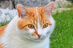 IMG_2508 (d_fust) Tags: cat katze fust rocko tier haustier kätzchen animal кот gato katt 貓 kissa γάτα 猫 kedi macska แมว gatto बिल्ली gatito γατάκι yavrusu 小貓 kitten का बच्चा anak kucing gattino 仔猫 고양이