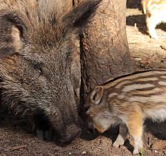 Wild boar  Apenheul BB2A9139 (j.a.kok) Tags: zwijn everzwijn wildzwijn boar wildboar babyboar babypig babyzwijn big piglet moederenkind motherandchild bergendal apenheul