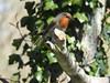 Robin enjoying the sun (FergalSandra) Tags: dundalk louth ireland robin