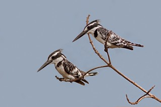 Pied Kingfisher Pair Looking for Fish