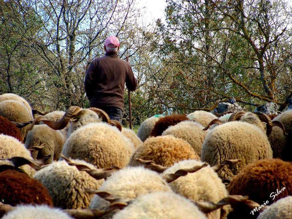 Águas Frias (Chaves) - ... o pastor a comandar o seu rebanho ...