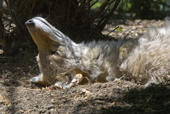 Akron Zoo 06-06-2014 - Coyote 34 (David441491) Tags: coyote canine akronzoo