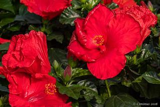 Hibiscus rosa-sinensis (Rose della Cina).