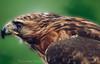 """Bec crochu ... ( P-A) Tags: aigle beccrochet buse condor faucon forceduregard plumage puissance tête oiseaudeproie magnifique puissant beau impressionnant démonstration photos simpa© """"nikonflickraward"""""""