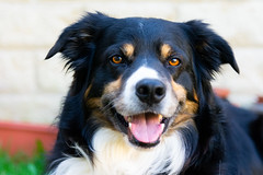 Chester... again (Ian C Sanderson) Tags: dog pup puppy pet family collie bordercollie animal