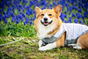 Big Smile (moaan) Tags: awaji hyogo japan jp dog corgi welshcorgi clone lyingonhegarden muscari glass grapehyacinth bigsmile colone dof depthoffield bokeh bokehphotography canonphotography utata 2018