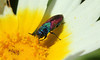 9889 Anthaxia scutellaris (jon. moore) Tags: anthaxiascutellaris buprestidae jewelbeetle coleoptera portugal algarve malhadadesantamaria
