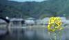 """Nanohana"" of the Kintai-kyo Bridge side,Iwakuni city 2018/03 No.1(taken by film camera). (HIDE@Verdad) Tags: lzosindustar61lzmc50mmf28 asahipentaxspotmatic pentaxsp pentax industar61 russian fujifilm superiapremium400"