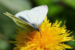 Green-veined white butterfly on Dandelion at Lakeside, Eastleigh, Hampmshire, UK (Art-G) Tags: insect butterfly greenveinedwhite flower yellow wildflower dandelion lakeside eastleigh hampshire uk canon eos7dmkii 100400lisusm bokeh macro