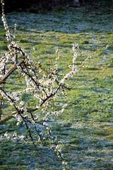 Primavera si o no ?  - Spring yes or no ? (scatti_sc Silvia) Tags: primavera spring brina freddo fiori frutti campagna piante tree contrast cold