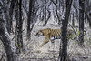 in the forest (Tripping Along) Tags: ranthambhorenationalpark tiger wildlifephotography