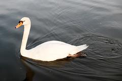20180505 mute swan (chromewaves) Tags: fujifilm xt20 xf 1855mm f284 r lm ois boston massachusetts public garden