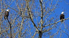 Eagles Enjoying the Sunshine (shesnuckinfuts) Tags: americanbaldeagle baldeagle haliaeetusleucocephalus riverbendeagles kentwa shesnuckinfuts march2018 nature wildlife bird eagle birdofprey raptor