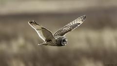 just chilling (blackfox wildlife and nature imaging) Tags: canon 1dmkiii sigma150600mmossport owls shortearedowl bif deeestuary wirral raptor birdsofprey