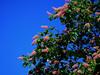 Rote Rosskastanie (ingrid eulenfan) Tags: natur nature baum tree roterosskastanie blüten lowangle flickrfriday kleinerwinkel himmel