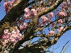 Spring Is In The Air (firehouse.ie) Tags: ireland springtime 2018 april2018 spring trees tree bloomong blooms nature colours colors cherryblossoms cherryblossom blossoms blossom cherry
