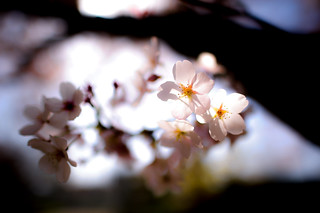 Sakura - Nikon D3s & Nikon AF-S Nikkor 24mm f/1.4G ED