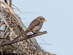 Yellow-billed Shrike (Tris Enticknap) Tags: africa yellowbilledshrike nikond500 kombonorth thegambia shrike corvinellacorvina